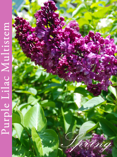 Purple Lilac Tree and Multistem #3