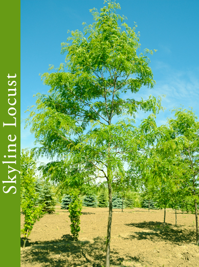 Shademaster Locust Tree #1